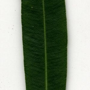 Photographie n°30928 du taxon Nerium oleander L. [1753]