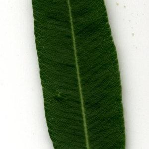 Photographie n°30929 du taxon Nerium oleander L. [1753]