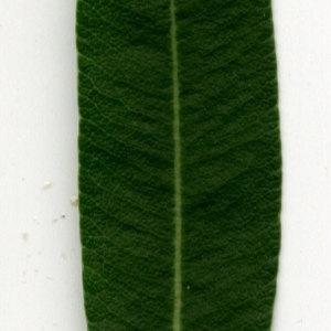 Photographie n°30930 du taxon Nerium oleander L. [1753]
