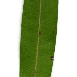 Photographie n°30933 du taxon Nerium oleander L. [1753]