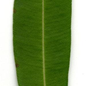Photographie n°30937 du taxon Nerium oleander L. [1753]