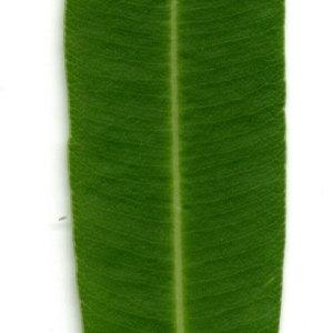 Photographie n°30938 du taxon Nerium oleander L. [1753]