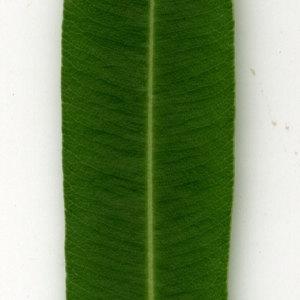 Photographie n°30939 du taxon Nerium oleander L. [1753]