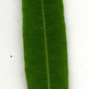 Photographie n°30941 du taxon Nerium oleander L. [1753]