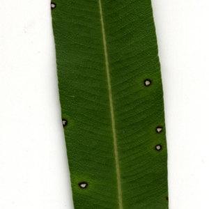 Photographie n°30942 du taxon Nerium oleander L. [1753]