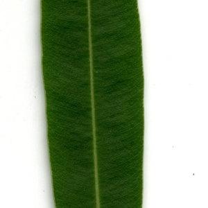Photographie n°30943 du taxon Nerium oleander L. [1753]