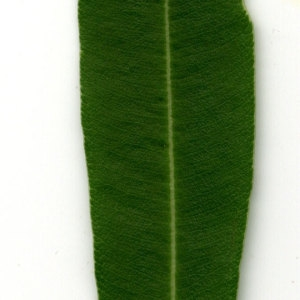 Photographie n°30944 du taxon Nerium oleander L. [1753]