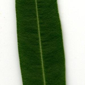 Photographie n°30945 du taxon Nerium oleander L. [1753]