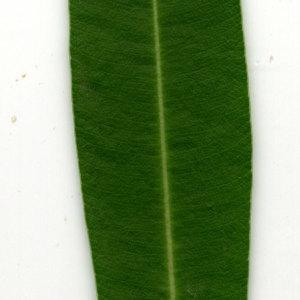 Photographie n°30946 du taxon Nerium oleander L. [1753]