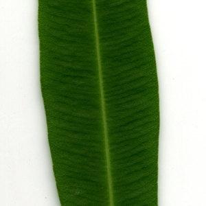 Photographie n°30947 du taxon Nerium oleander L. [1753]