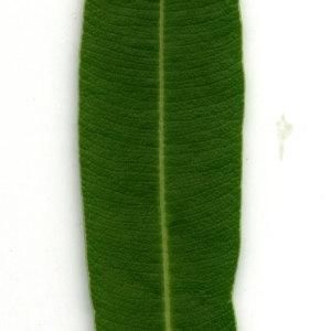 Photographie n°30948 du taxon Nerium oleander L. [1753]