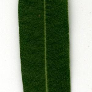 Photographie n°30950 du taxon Nerium oleander L. [1753]