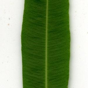Photographie n°30951 du taxon Nerium oleander L. [1753]