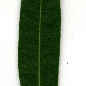 Photographie n°30952 du taxon Nerium oleander L. [1753]