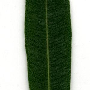 Photographie n°30953 du taxon Nerium oleander L. [1753]