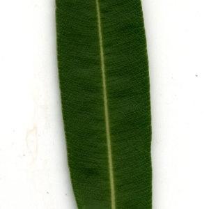 Photographie n°30954 du taxon Nerium oleander L. [1753]