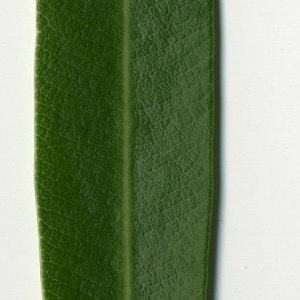 Photographie n°30956 du taxon Nerium oleander L. [1753]