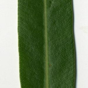 Photographie n°30957 du taxon Nerium oleander L. [1753]