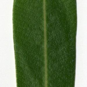 Photographie n°30959 du taxon Nerium oleander L. [1753]