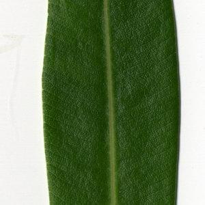Photographie n°30967 du taxon Nerium oleander L. [1753]