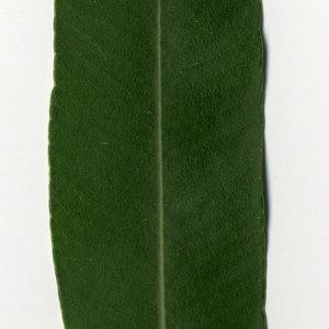 Photographie n°30968 du taxon Nerium oleander L. [1753]