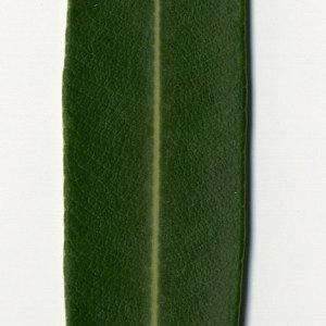 Photographie n°30969 du taxon Nerium oleander L. [1753]