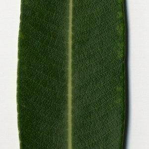 Photographie n°30971 du taxon Nerium oleander L. [1753]