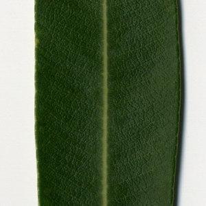 Photographie n°30972 du taxon Nerium oleander L. [1753]