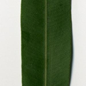 Photographie n°30978 du taxon Nerium oleander L. [1753]