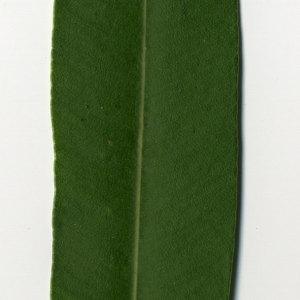 Photographie n°30982 du taxon Nerium oleander L. [1753]