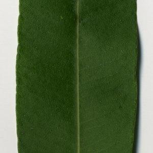 Photographie n°30984 du taxon Nerium oleander L. [1753]