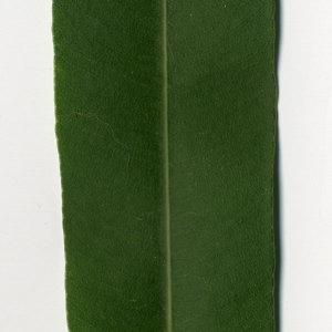 Photographie n°30986 du taxon Nerium oleander L. [1753]