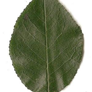 Photographie n°31240 du taxon Prunus mahaleb L.