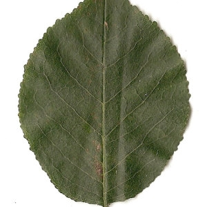 Photographie n°31241 du taxon Prunus mahaleb L.