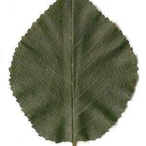 Photographie n°31242 du taxon Prunus mahaleb L.