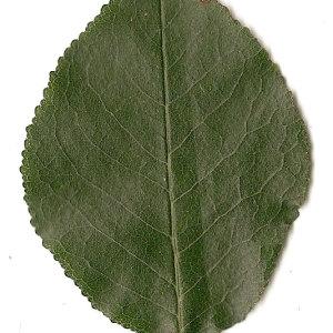 Photographie n°31244 du taxon Prunus mahaleb L.