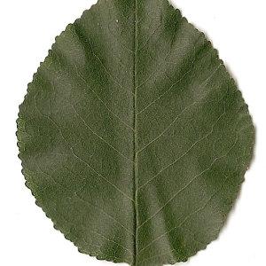 Photographie n°31245 du taxon Prunus mahaleb L.
