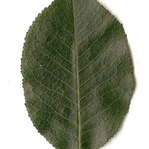 Photographie n°31246 du taxon Prunus mahaleb L.