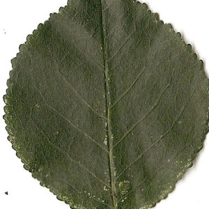 Photographie n°31247 du taxon Prunus mahaleb L.