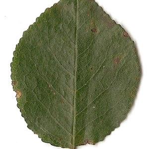 Photographie n°31248 du taxon Prunus mahaleb L.