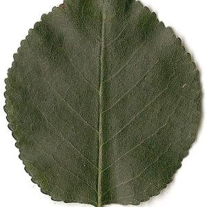 Photographie n°31249 du taxon Prunus mahaleb L.