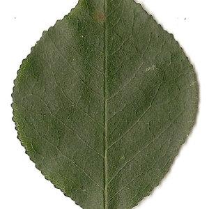 Photographie n°31250 du taxon Prunus mahaleb L.
