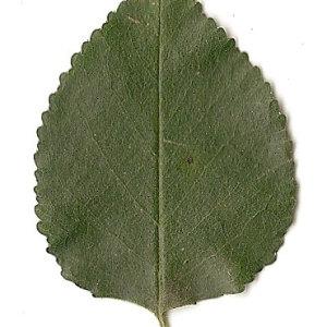 Photographie n°31251 du taxon Prunus mahaleb L.
