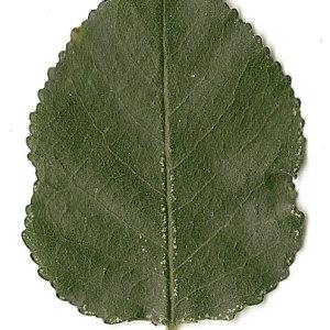 Photographie n°31253 du taxon Prunus mahaleb L.