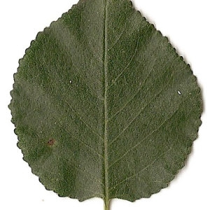 Photographie n°31254 du taxon Prunus mahaleb L.