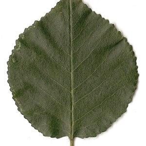 Photographie n°31255 du taxon Prunus mahaleb L.