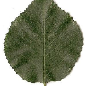 Photographie n°31256 du taxon Prunus mahaleb L.