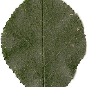 Photographie n°31257 du taxon Prunus mahaleb L.