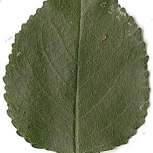 Photographie n°31258 du taxon Prunus mahaleb L.