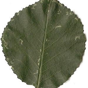 Photographie n°31259 du taxon Prunus mahaleb L.